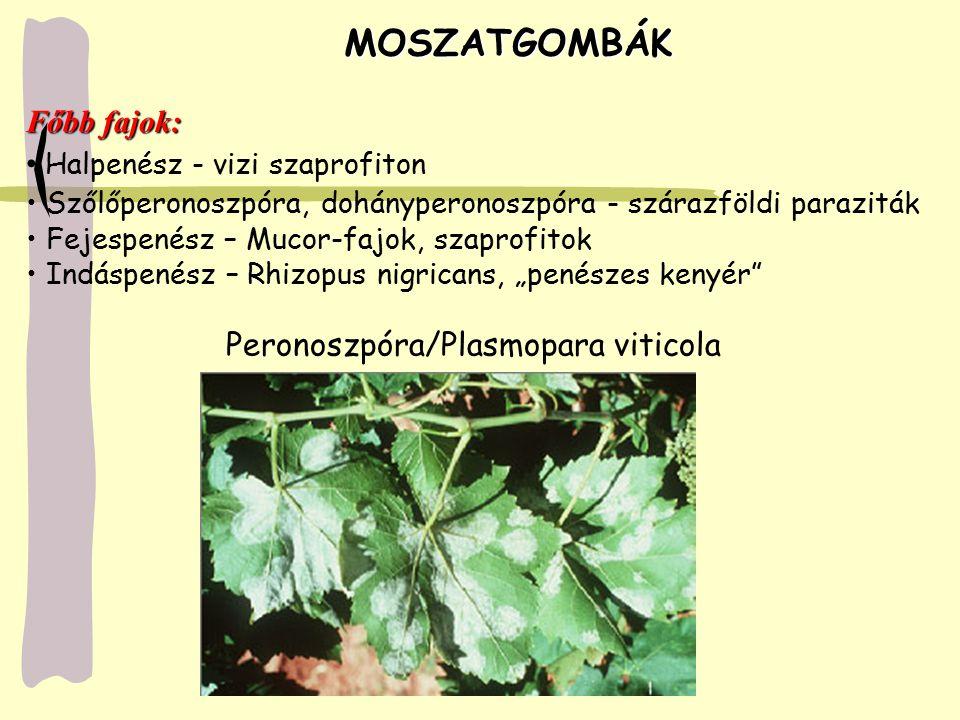 MOSZATGOMBÁK Főbb fajok: Halpenész - vizi szaprofiton