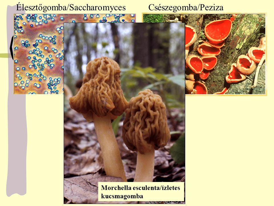 Élesztőgomba/Saccharomyces Csészegomba/Peziza