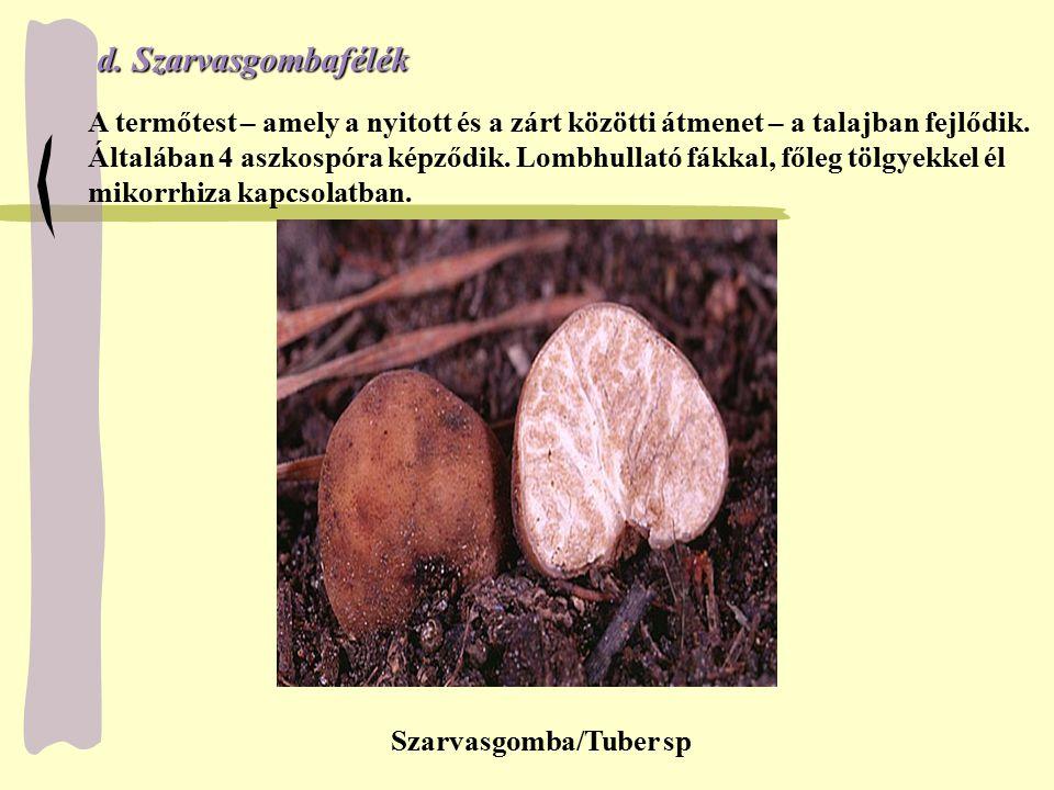 d. Szarvasgombafélék A termőtest – amely a nyitott és a zárt közötti átmenet – a talajban fejlődik.