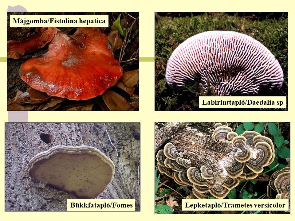 Májgomba/Fistulina hepatica