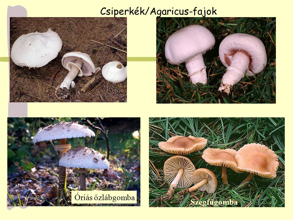 Csiperkék/Agaricus-fajok