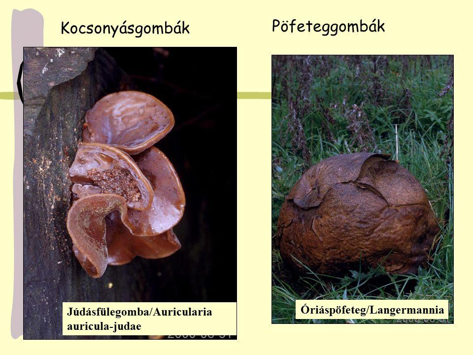 Pöfeteggombák Kocsonyásgombák Óriáspöfeteg/Langermannia