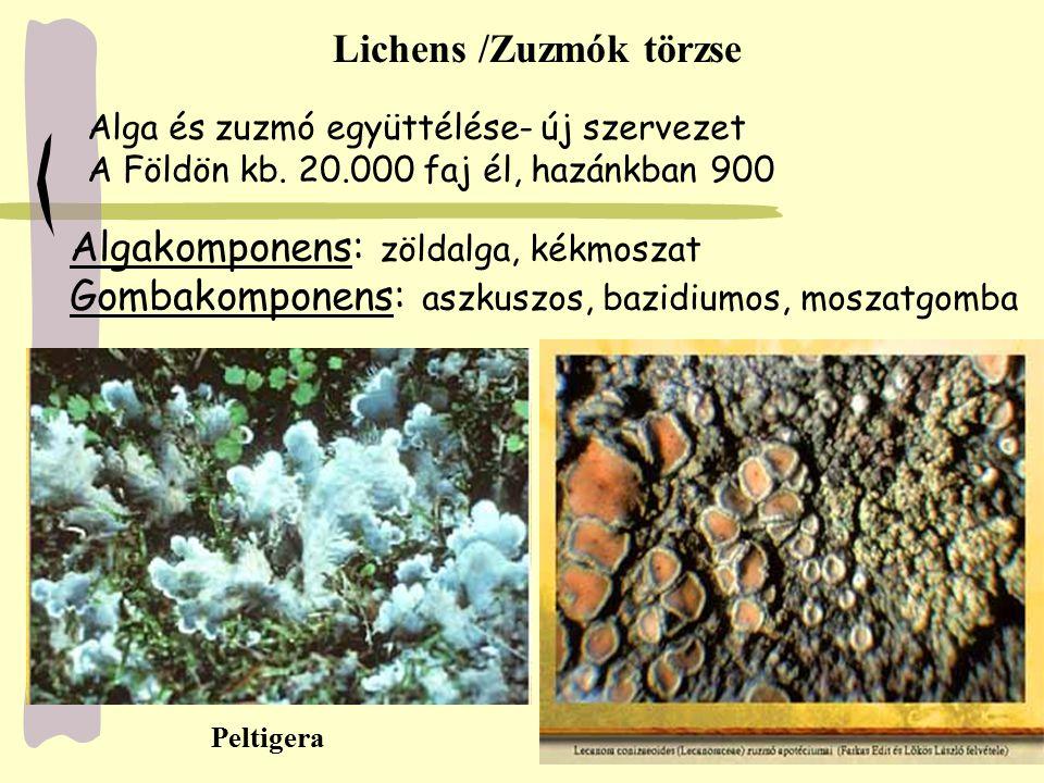 Lichens /Zuzmók törzse