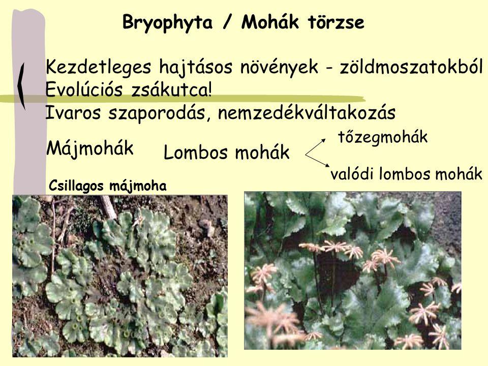 Bryophyta / Mohák törzse