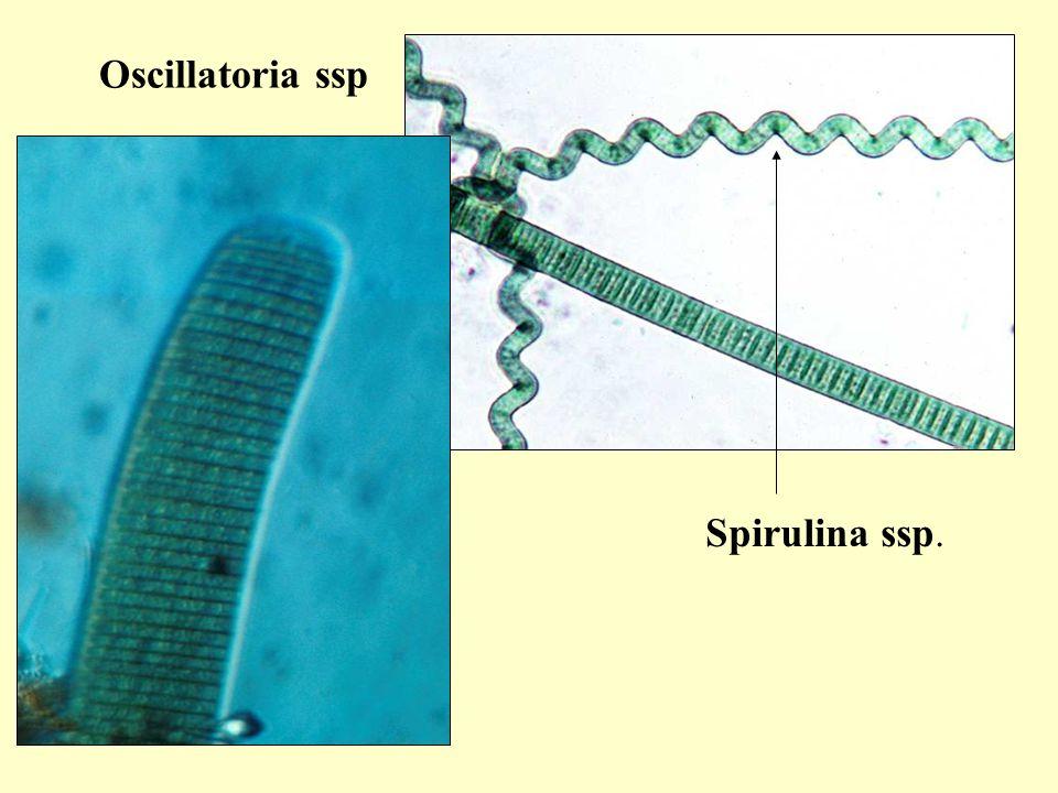 Spirulina ssp. Oscillatoria ssp