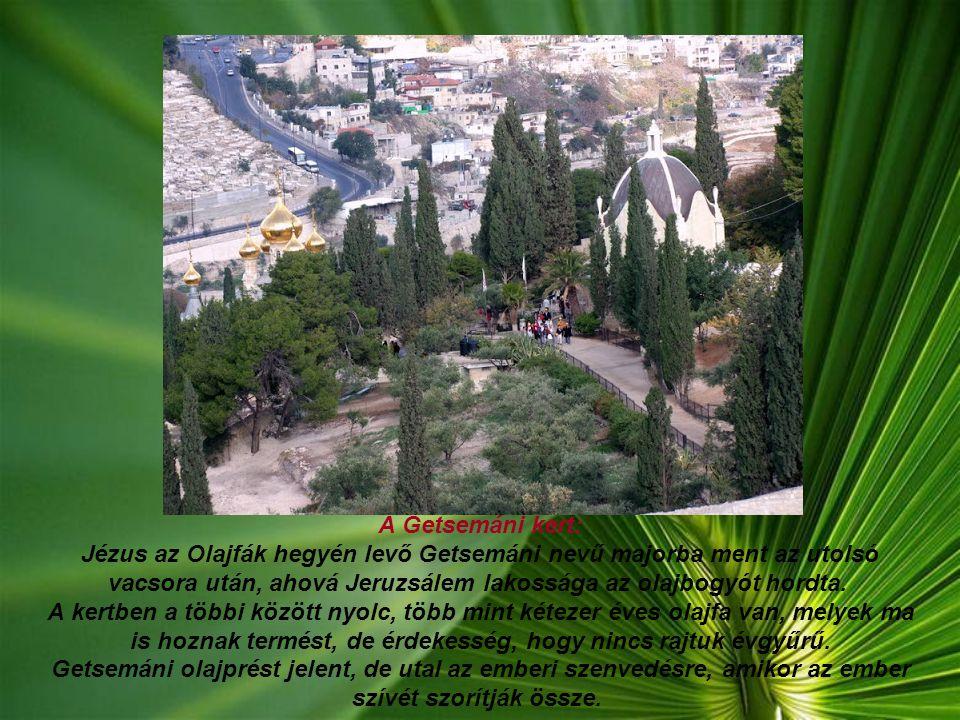 A Getsemáni kert: Jézus az Olajfák hegyén levő Getsemáni nevű majorba ment az utolsó vacsora után, ahová Jeruzsálem lakossága az olajbogyót hordta. A kertben a többi között nyolc, több mint kétezer éves olajfa van, melyek ma is hoznak termést, de érdekesség, hogy nincs rajtuk évgyűrű.
