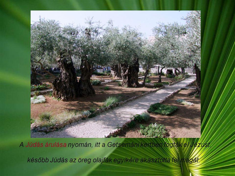 A Júdás árulása nyomán, itt a Getsemáni kertben fogták el Jézust, később Júdás az öreg olajfák egyikére akasztotta fel magát.