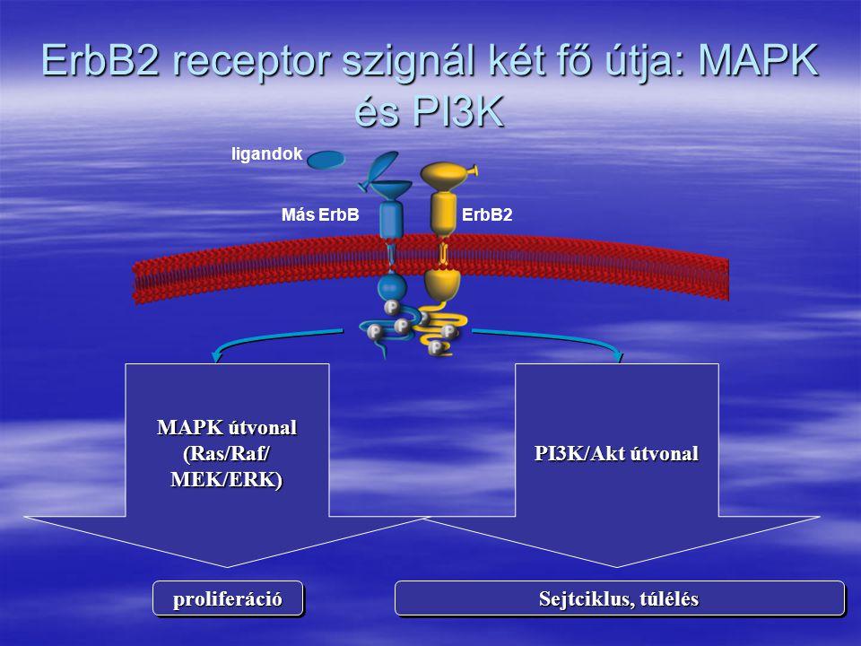 ErbB2 receptor szignál két fő útja: MAPK és PI3K