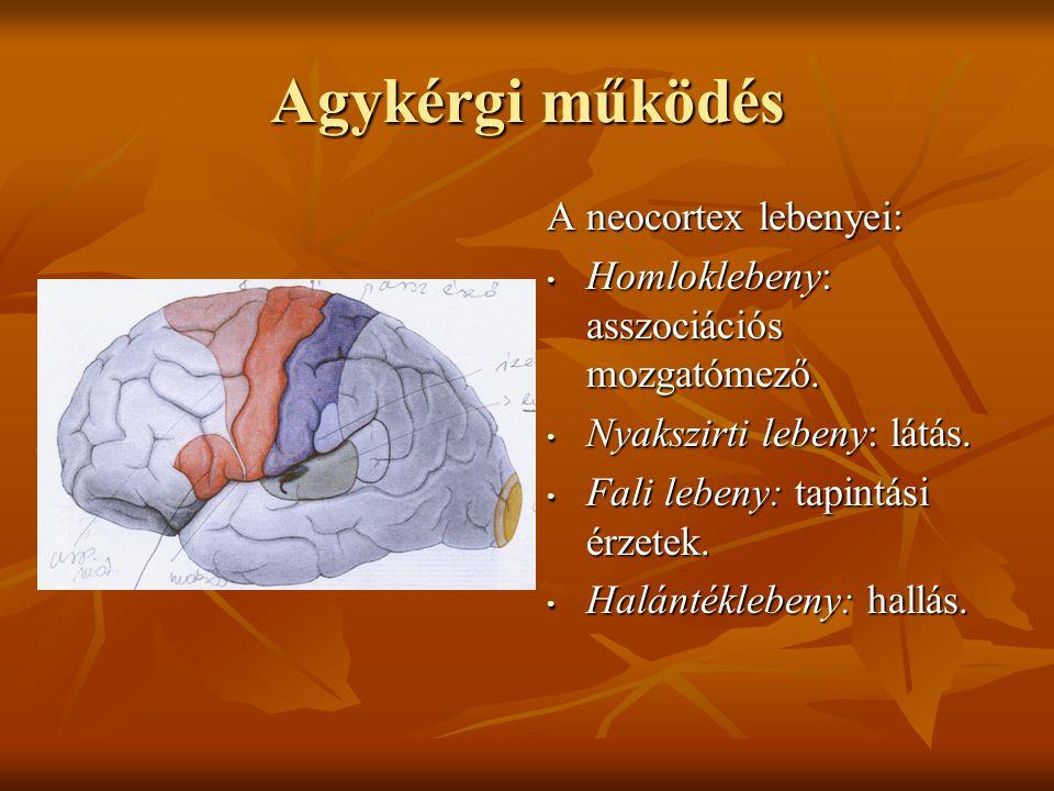 Agykérgi működés A neocortex lebenyei: