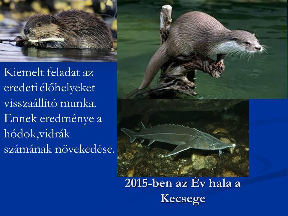 2015-ben az Év hala a Kecsege