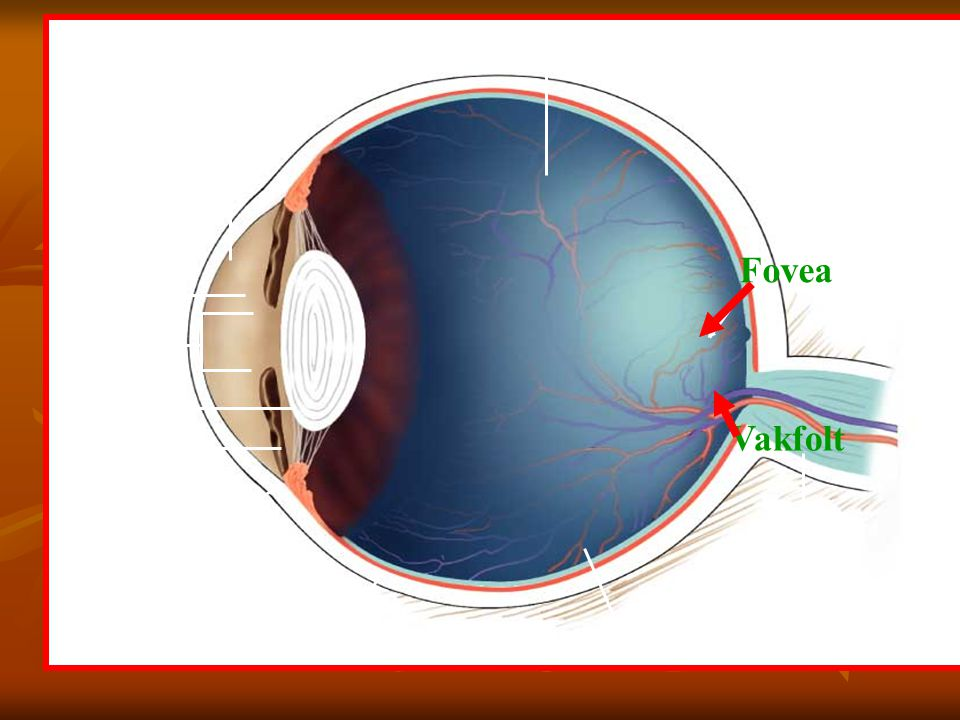 Fovea Vakfolt aqueous humor vitreous body cornea fovea iris pupil lens