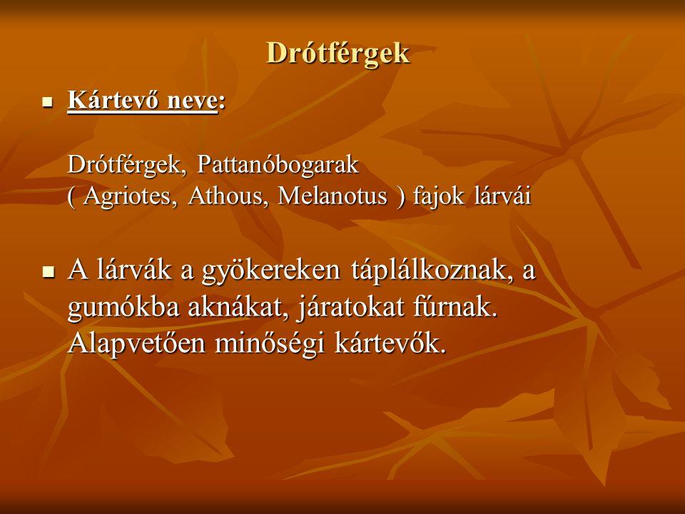 Drótférgek Kártevő neve: Drótférgek, Pattanóbogarak ( Agriotes, Athous, Melanotus ) fajok lárvái.