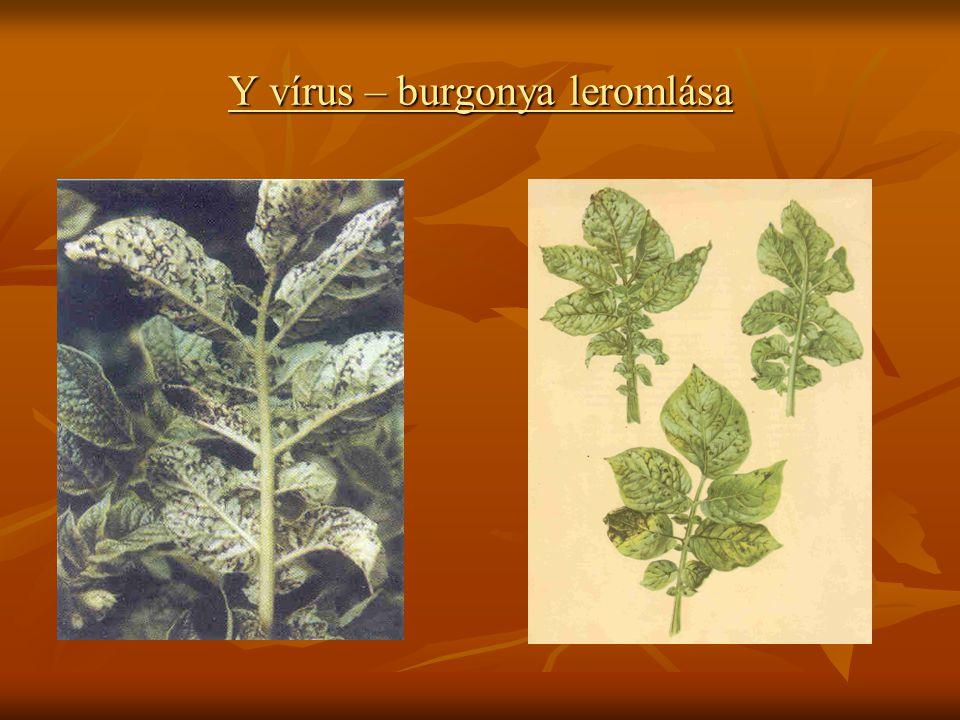 Y vírus – burgonya leromlása