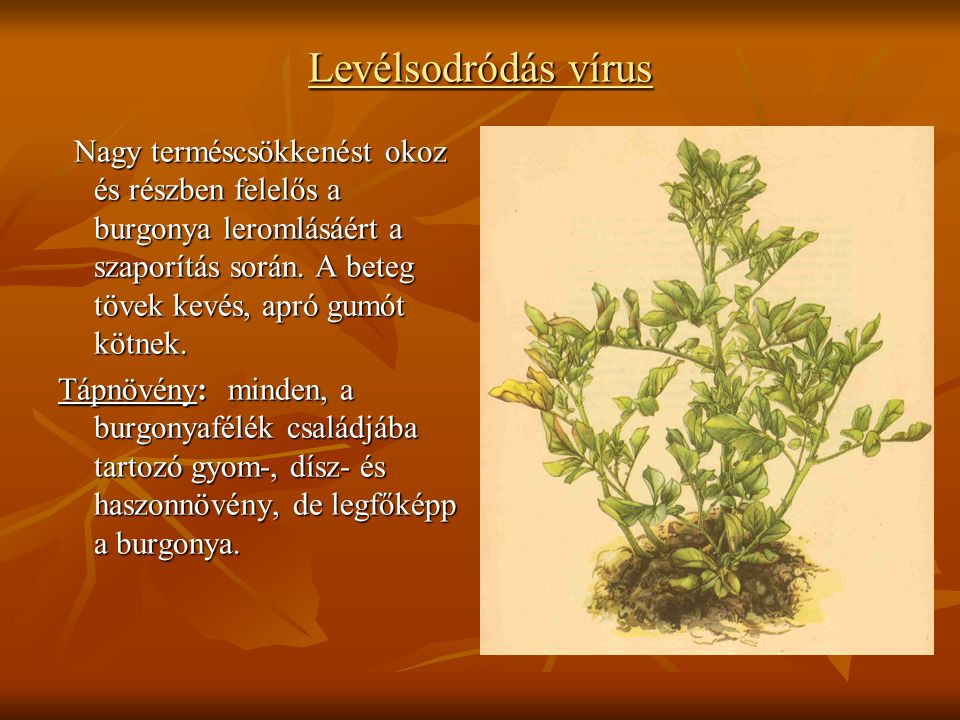 Levélsodródás vírus Nagy terméscsökkenést okoz és részben felelős a burgonya leromlásáért a szaporítás során. A beteg tövek kevés, apró gumót kötnek.