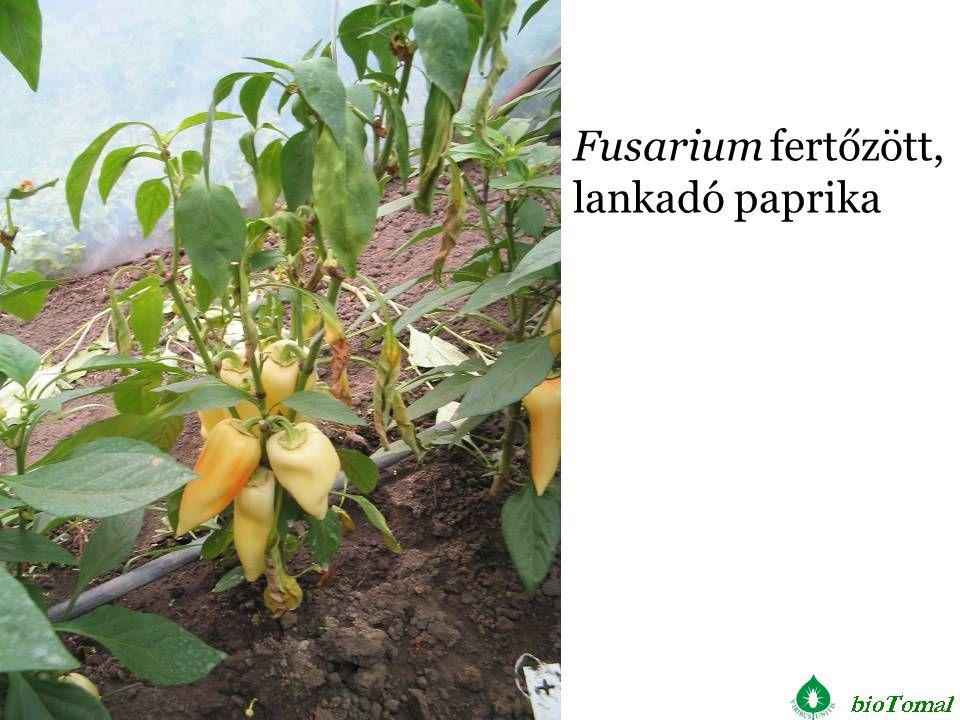 Fusarium fertőzött, lankadó paprika
