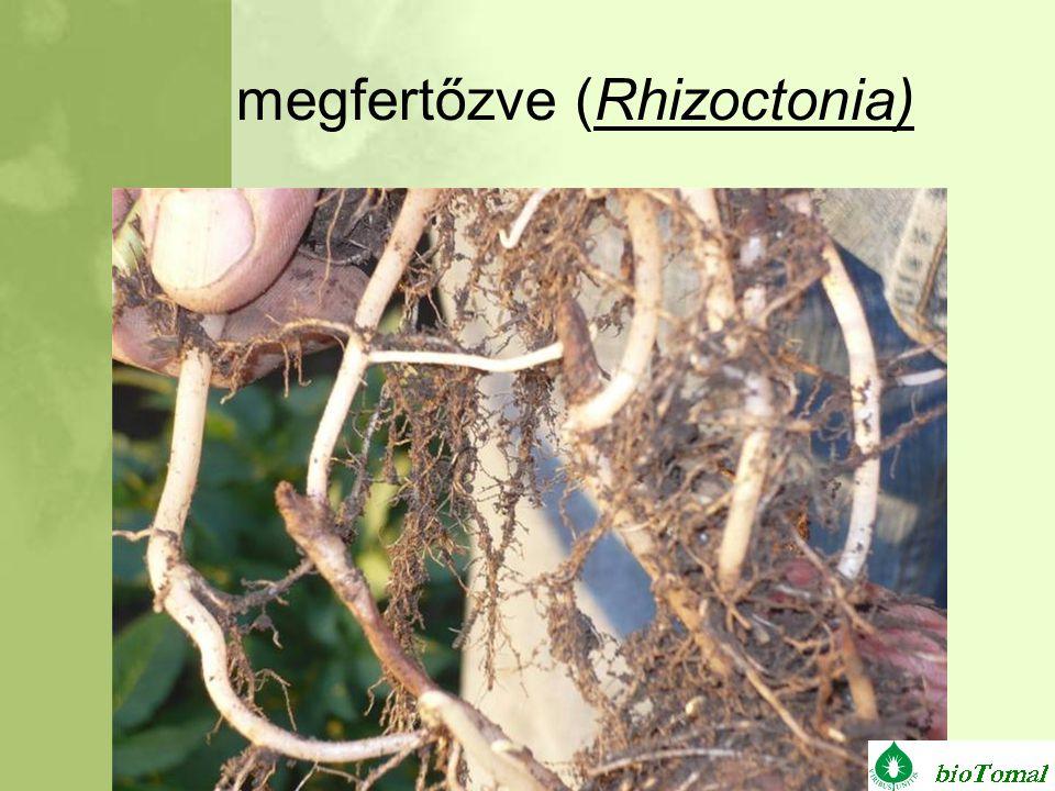 megfertőzve (Rhizoctonia)