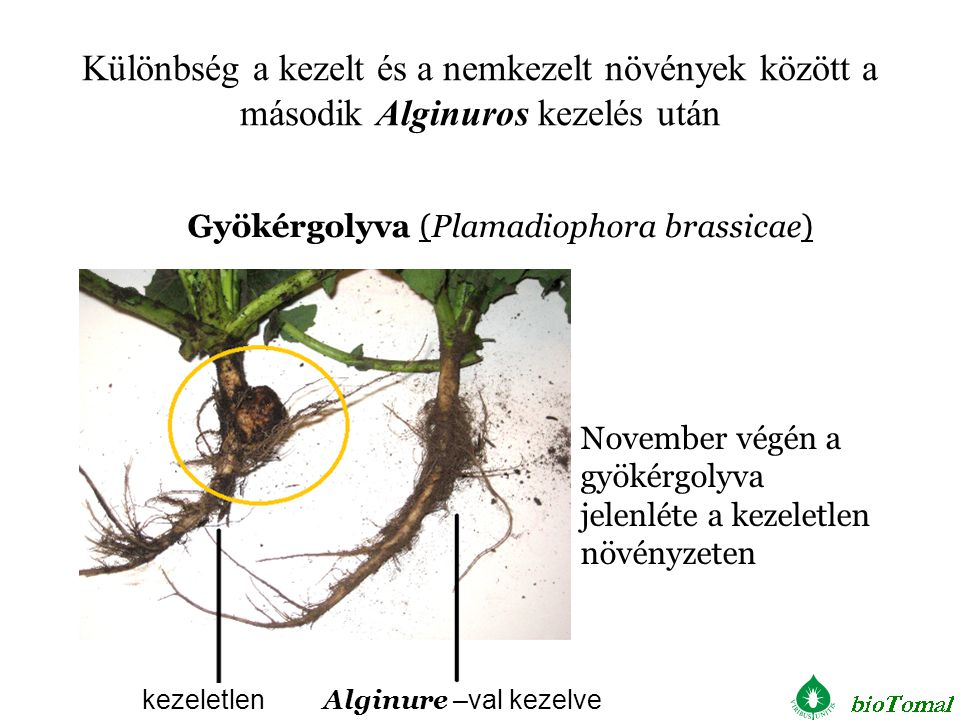 Különbség a kezelt és a nemkezelt növények között a második Alginuros kezelés után