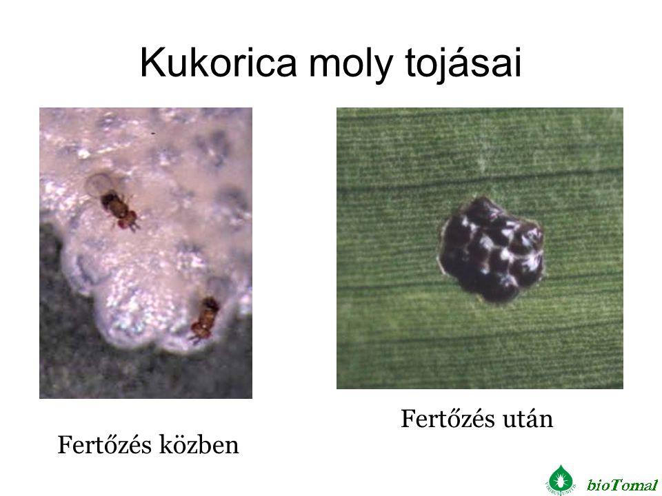 Kukorica moly tojásai Fertőzés után Fertőzés közben