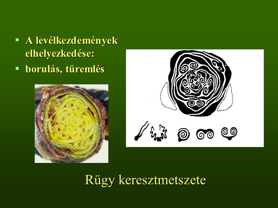 Rügy keresztmetszete A levélkezdemények elhelyezkedése: