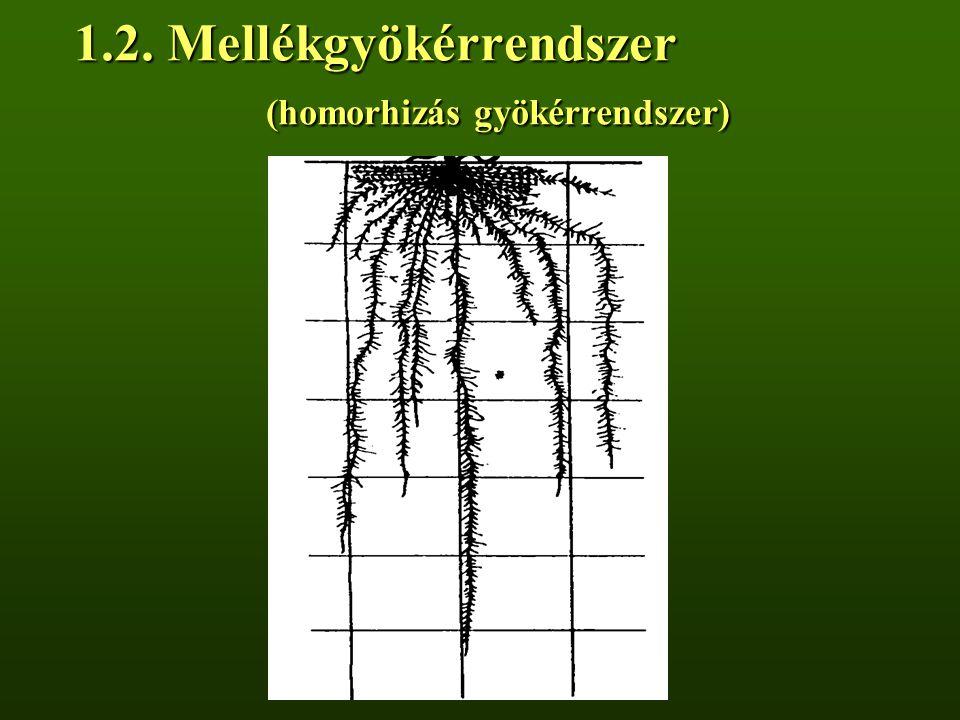 1.2. Mellékgyökérrendszer (homorhizás gyökérrendszer)