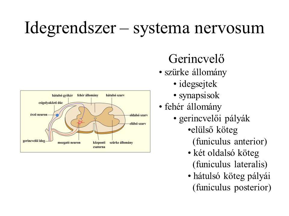 Idegrendszer – systema nervosum