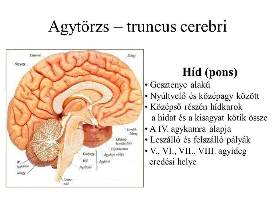 Agytörzs – truncus cerebri