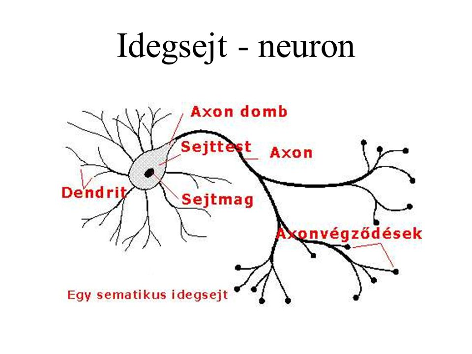 Idegsejt - neuron