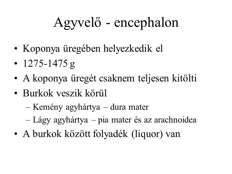 Agyvelő - encephalon Koponya üregében helyezkedik el 1275-1475 g