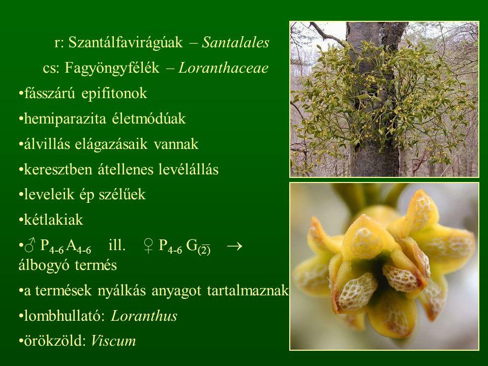 r: Szantálfavirágúak – Santalales