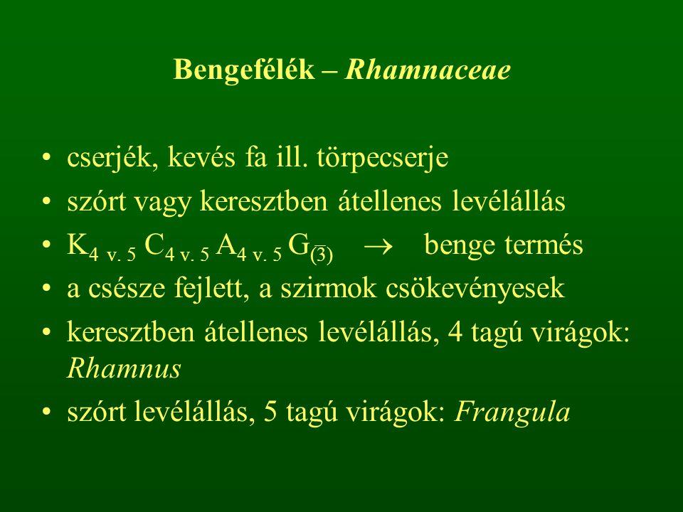 Bengefélék – Rhamnaceae