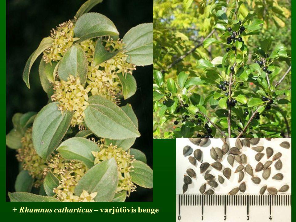 + Rhamnus catharticus – varjútövis benge
