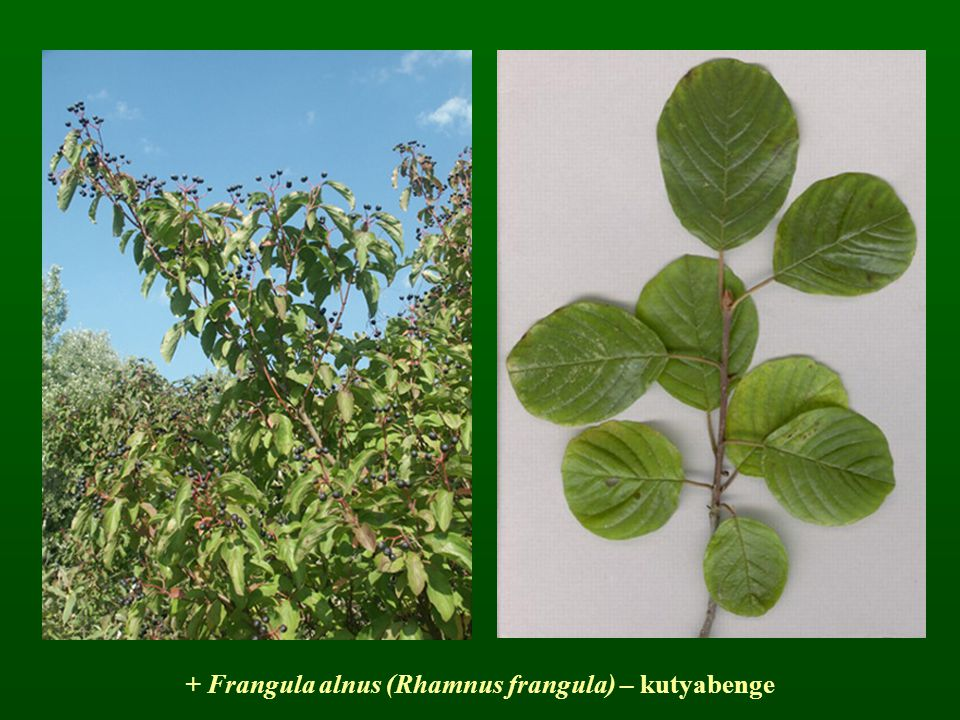 + Frangula alnus (Rhamnus frangula) – kutyabenge