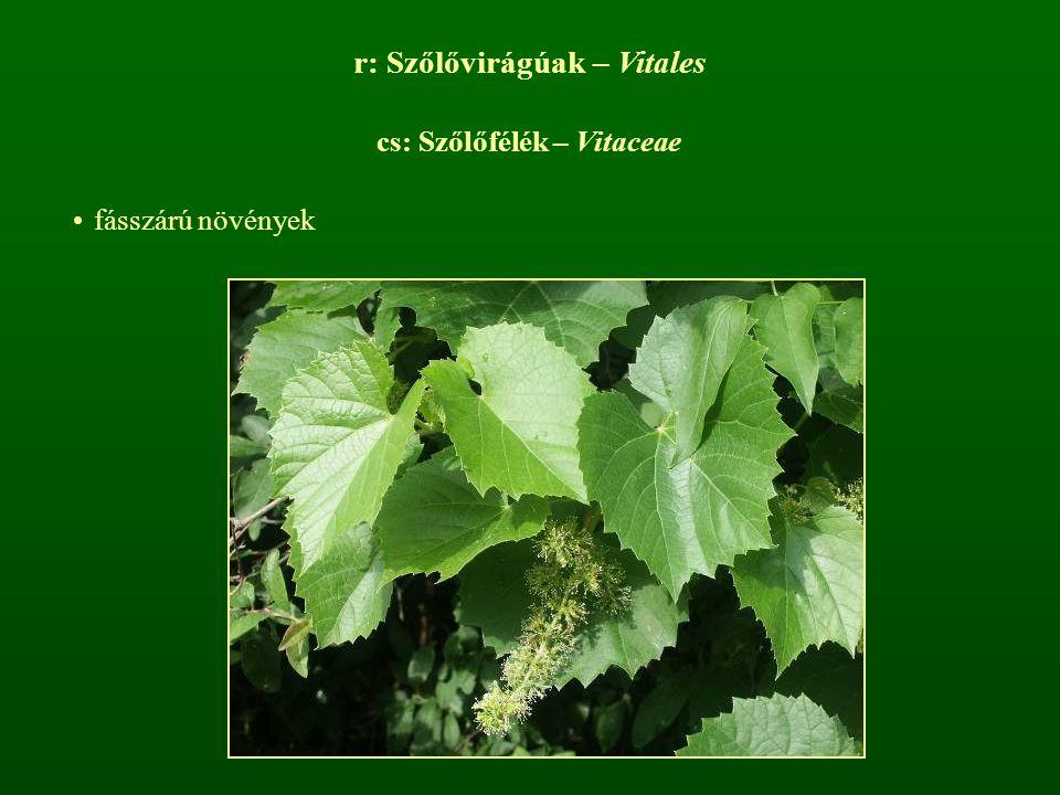r: Szőlővirágúak – Vitales cs: Szőlőfélék – Vitaceae