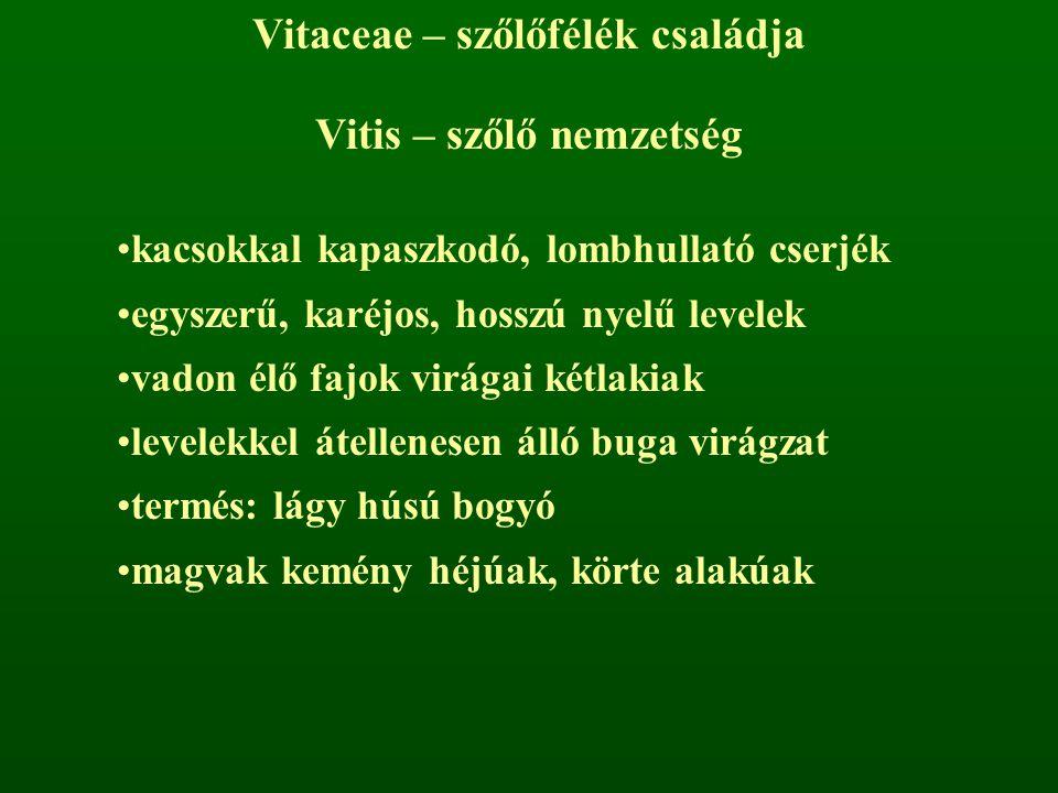 Vitaceae – szőlőfélék családja Vitis – szőlő nemzetség