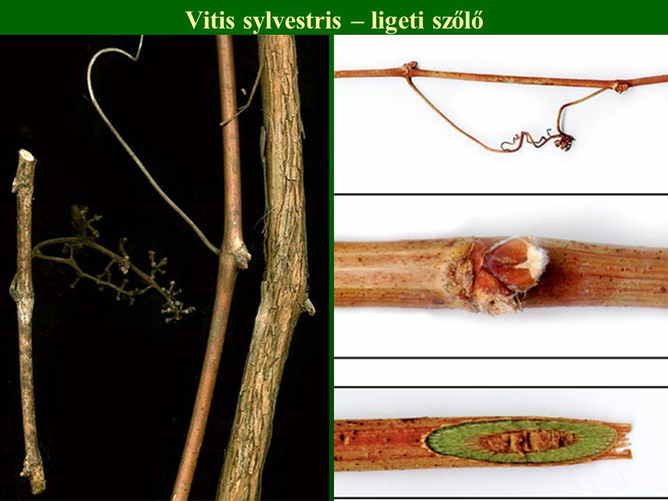 Vitis sylvestris – ligeti szőlő