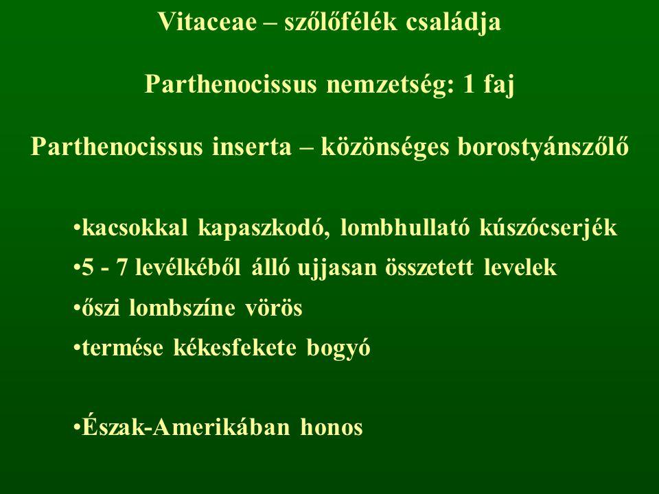 Vitaceae – szőlőfélék családja Parthenocissus nemzetség: 1 faj
