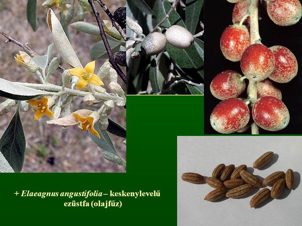 + Elaeagnus angustifolia – keskenylevelű ezüstfa (olajfűz)