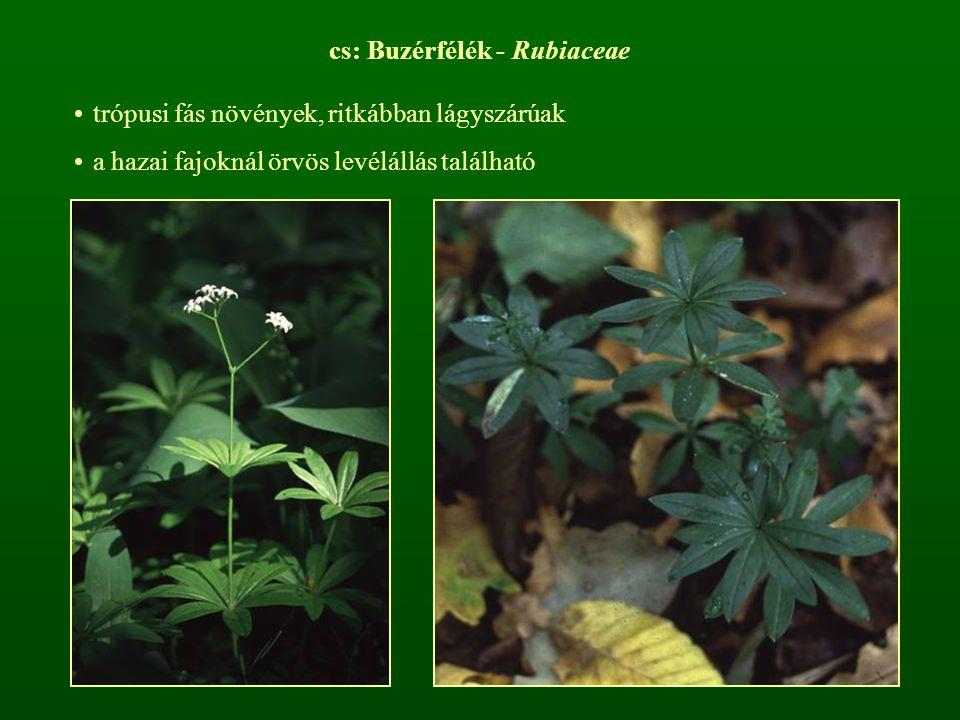 cs: Buzérfélék - Rubiaceae