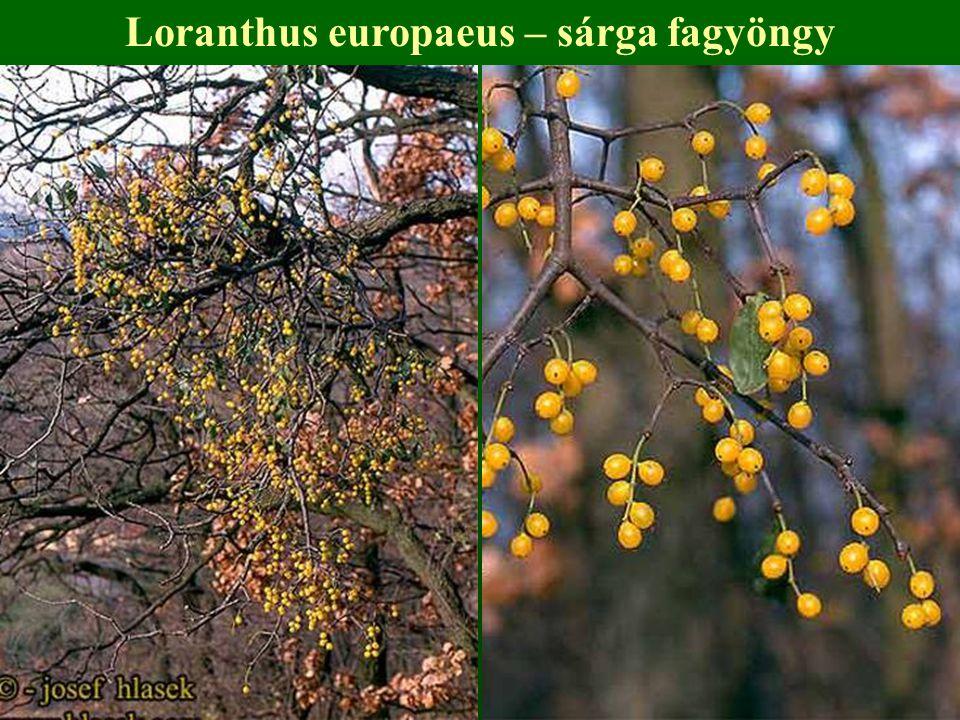 Loranthus europaeus – sárga fagyöngy