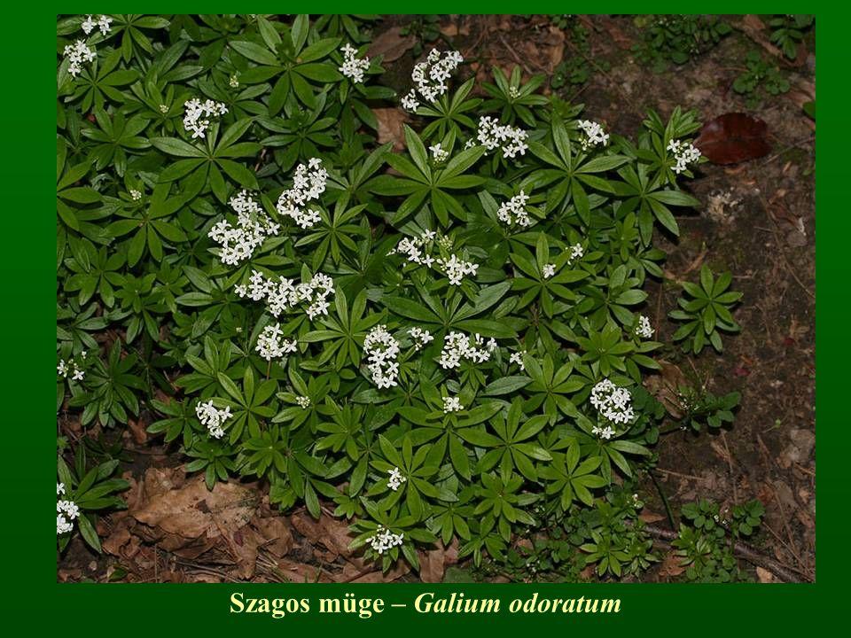 Szagos müge – Galium odoratum