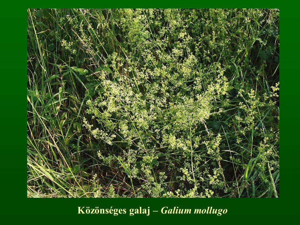 Közönséges galaj – Galium mollugo