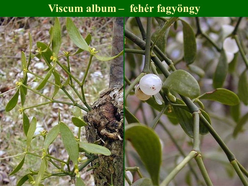 Viscum album – fehér fagyöngy