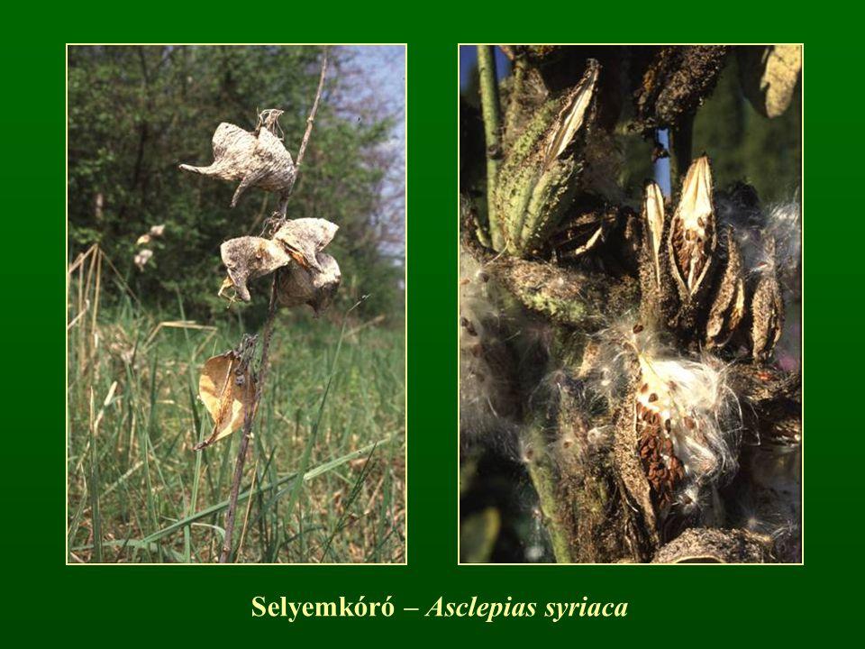 Selyemkóró – Asclepias syriaca