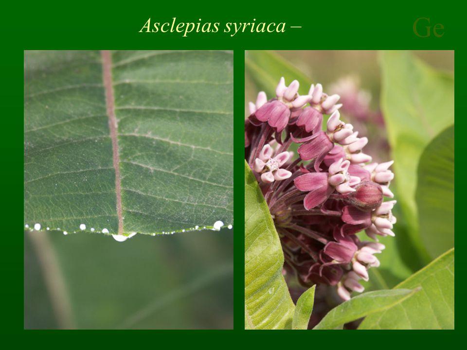 Ge Asclepias syriaca –