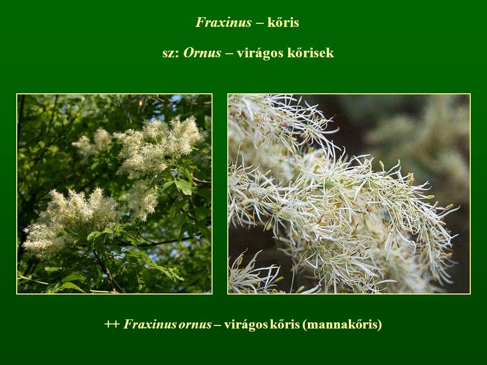 Fraxinus – kőris sz: Ornus – virágos kőrisek