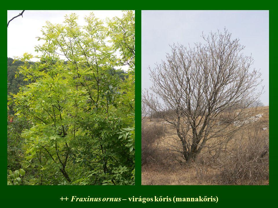++ Fraxinus ornus – virágos kőris (mannakőris)