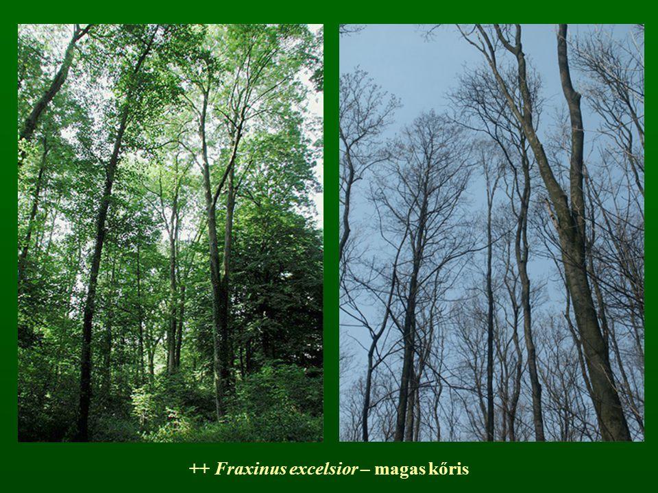 ++ Fraxinus excelsior – magas kőris