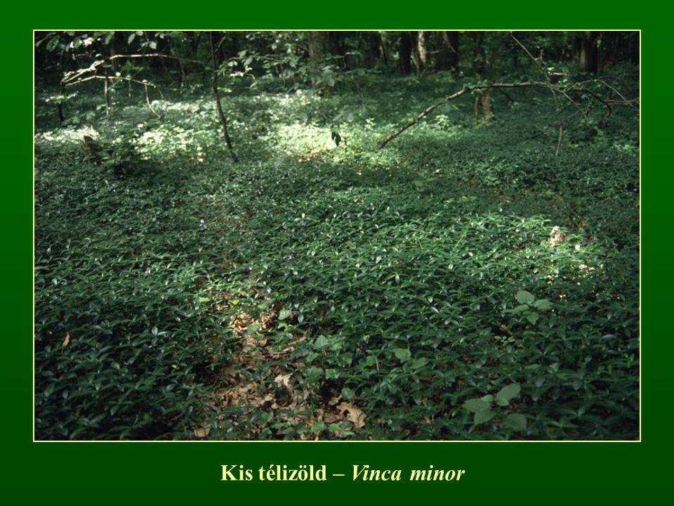 Kis télizöld – Vinca minor