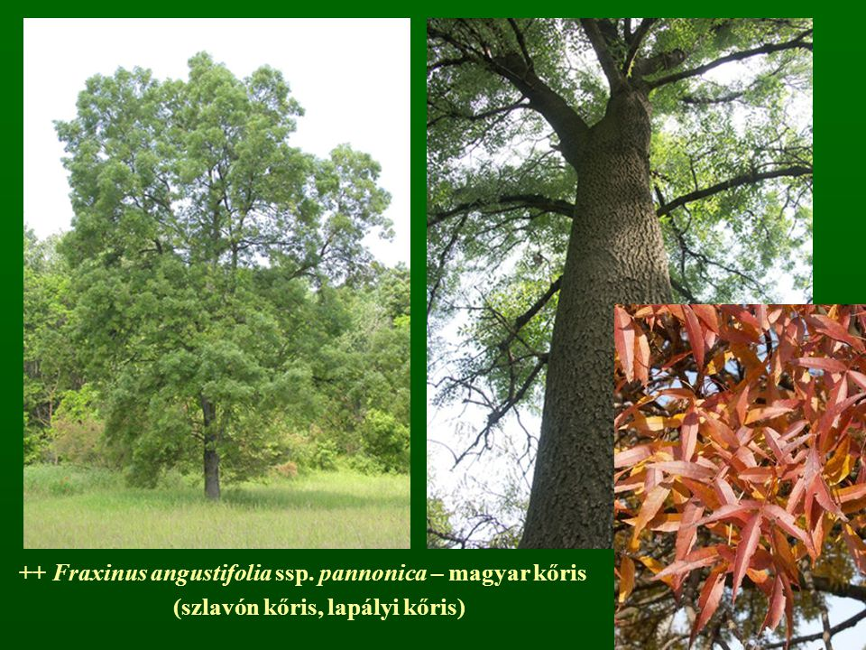 ++ Fraxinus angustifolia ssp