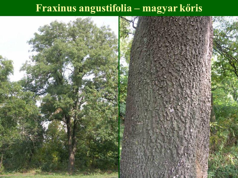 Fraxinus angustifolia – magyar kőris